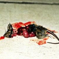 Martwa zabita mysz przecięta na pół oczka flaki wnętrzności ogonek futerko