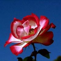 Biało czerwona róża