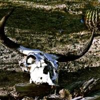 Czaszka bawoła byka na pustyni