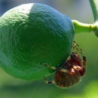 Duży pająk na cytrynie