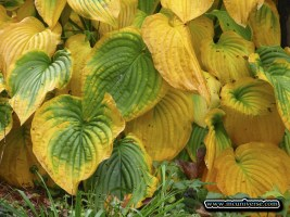 1024x768 Hostas Wallpaper
