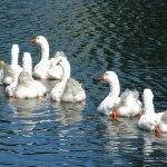1024x768 - Wallpaper - Geese