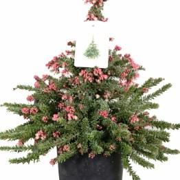 Bloeiende kerstboom