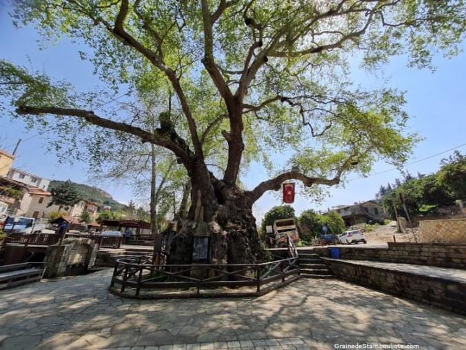 Arbre de Moïse, village arménien, Hidirbey, Samandag, Antakya, Hatay, Turquie