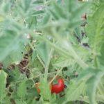 tomates cerise miel du mexique