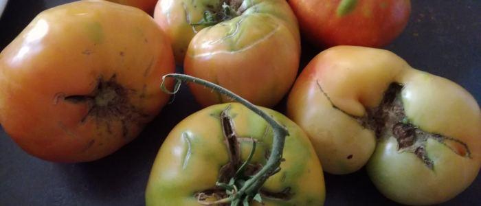 tomates Potiron