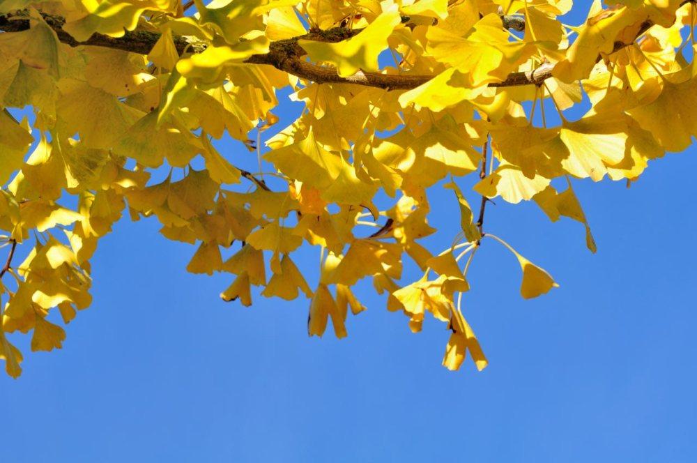 Liście Ginkgo biloba - drzewo - Jak działa miłorząb japoński?