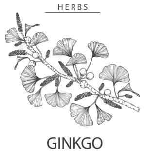 Miłorząb japoński - liście Ginkgo Biloba - ilustracja, szkic