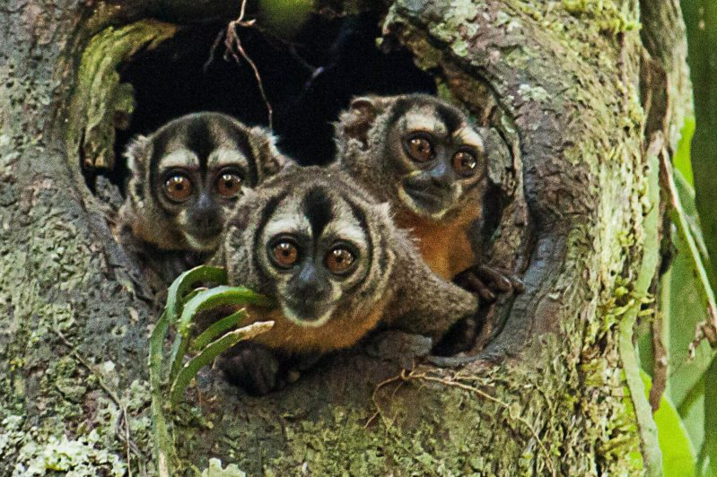 Owl Monkey, Night Monkey, Amazon Jungle