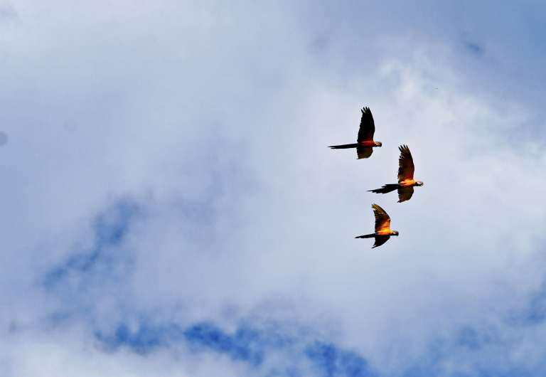 Three blue and yellow or blue and gold macaws flying overhead in the sky near ACRCTT