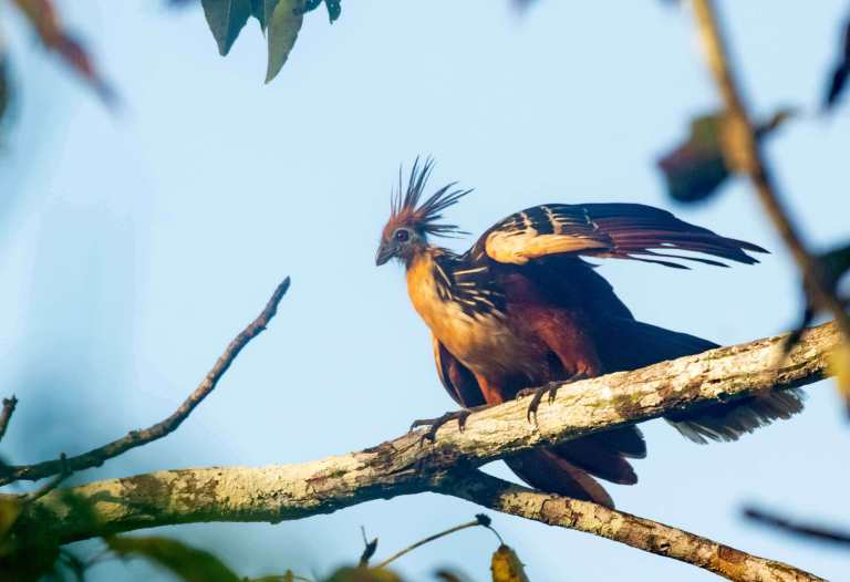 Uccello Hoatzin dalla giungla amazzonica vicino a Iquitos in Perù al Grand Amazon Lodge