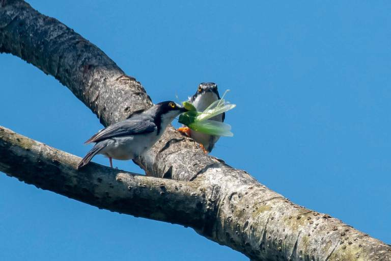 Nemosia pileata Amazon bird species fighting over grasshopper
