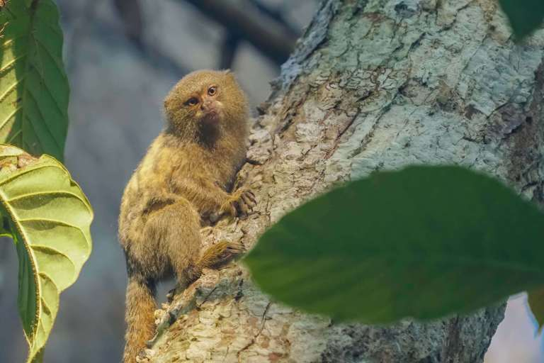 World's smallest monkey pygmy marmoset in Peruvian Amazon