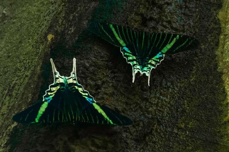 Uranium Butterfly