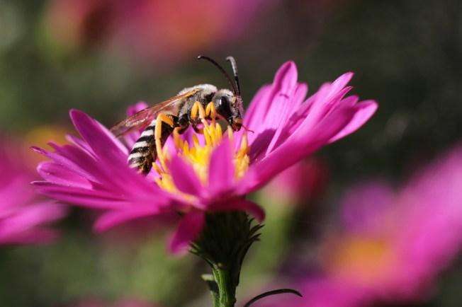 Hyménoptères_Halictidae_Halictus_scabiosae_Aster-118