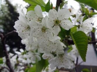 """Sunburst"" Cherry blossom"