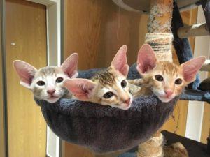 Kotki orientalne w hamaku