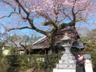 L'unique cerisier en fleurs du chemin de la philosophie à ce moment-là !