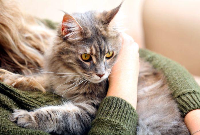 Maine Coon - TOP 5 de las razas de gatos más tranquilas