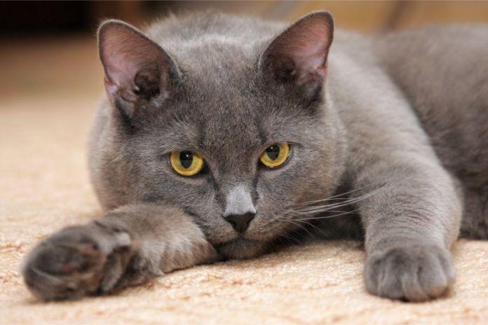 gato britanico - TOP 5 de las razas de gatos más tranquilas