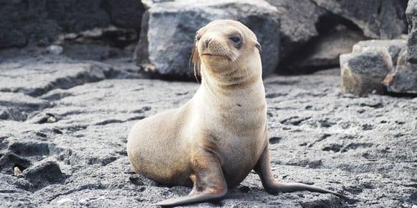 Cría de lobo de mar galápagos