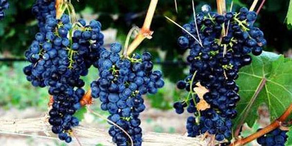 variedades de uva tinta racimos