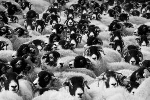 Moutons en troupeau