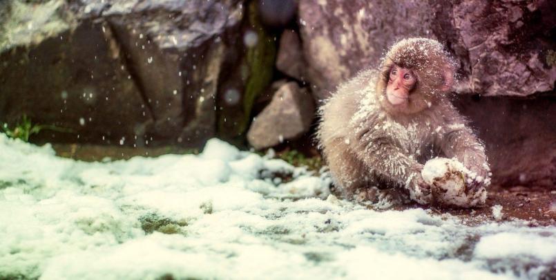 Singe jouant dans la neige