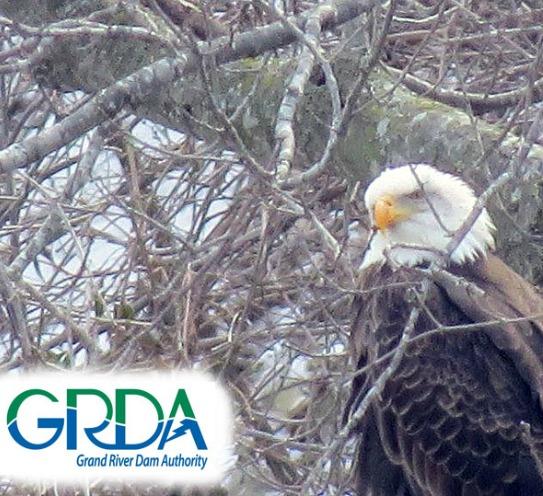 Eagle Watching at Grand Lake – GRDA's Eagle Pass