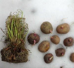 Dig This – Planting Potatoes and Onions