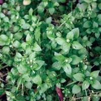 God Loves Chickweed