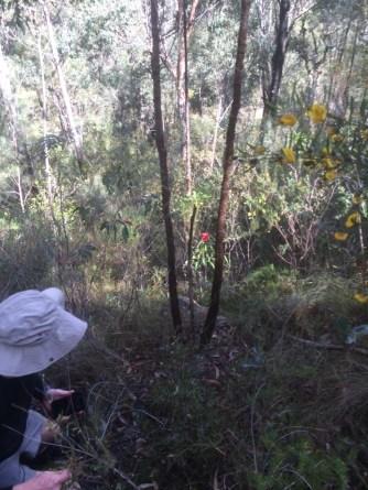 bluegumforest9