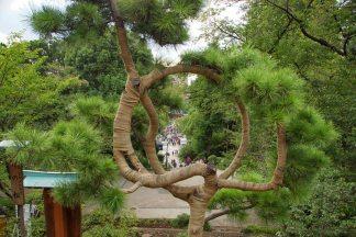 pine tree of the moon