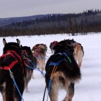 Alaska Day 8: 燃燒青春! 賞大油管, 乘雪橇犬, 夜泡珍娜溫泉 (Fairbanks)