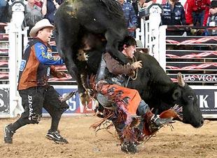 bull2