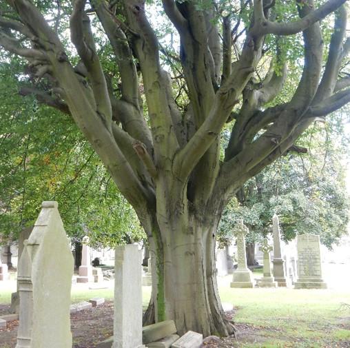 Beech tree 128 square