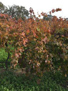Autumn flavours of a shiraz vine - Granite Rose Estate