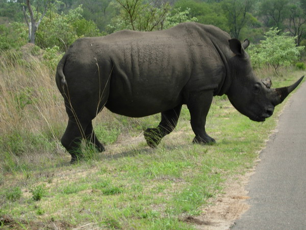 When a rhino decides to cross the road, you stop!