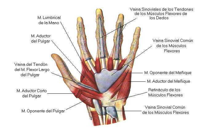 Los principales músculos que se usan para tocar el violín y la viola
