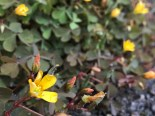 Procumbant yellow sorrel