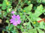 Dove's foot cranesbill