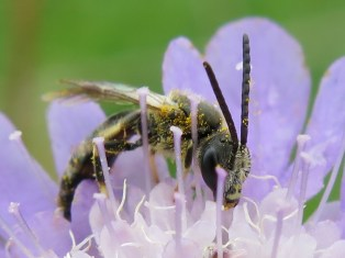 Lassioglossum solitary bee feeding on small scabious