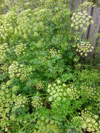 img_20151027_151620-parsley-in-flower