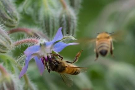 Borage and bee-906430_1280