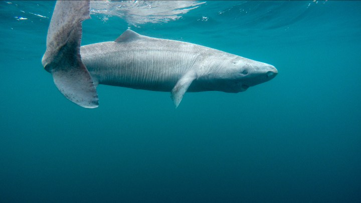 A Greenland Shark swimming near the surface of the water