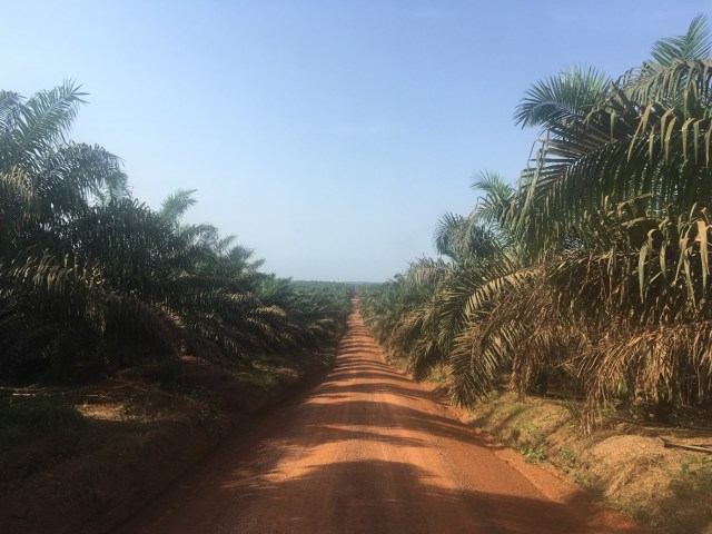 A long empty road going through a palm oil plantation in Liberia
