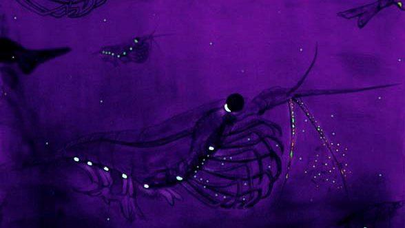 Watercolour painting of krill bioluminescence. (c) Wikimedia commons