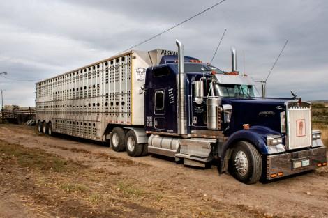 Cattle liner