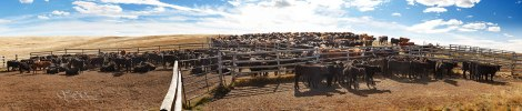 corral-cattle-web