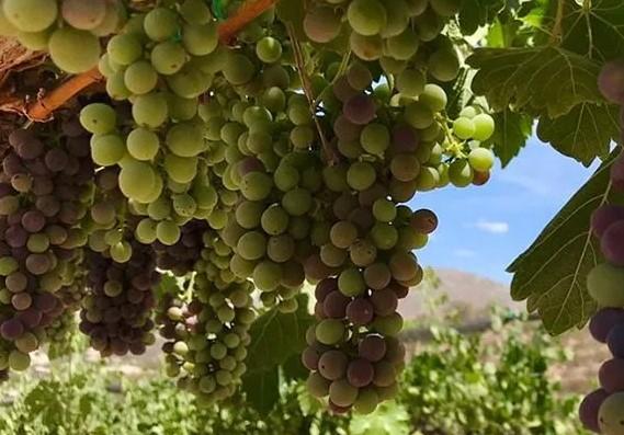 Campo Creek Vineyards